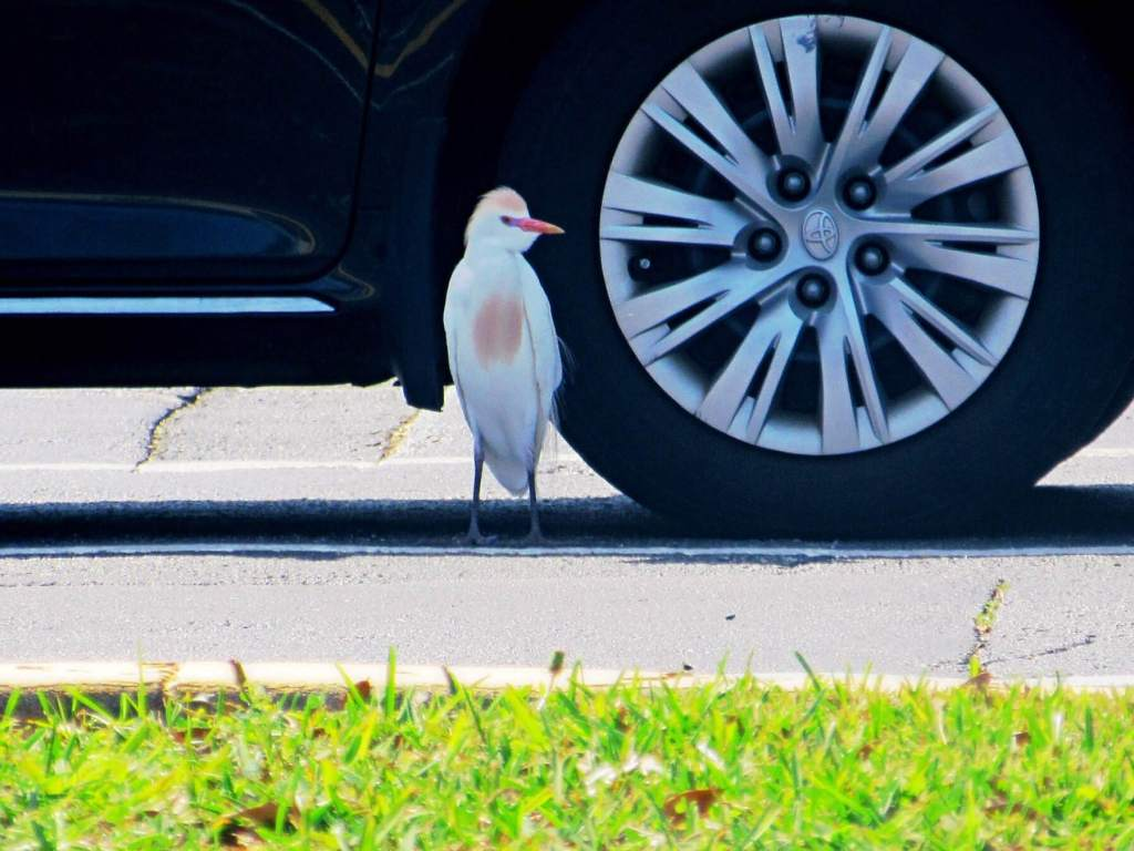 Image of a bird beside a parked car on a roadside next to a swatch of grass. Used for a poem about the ecological impacts of roads and expanded development.