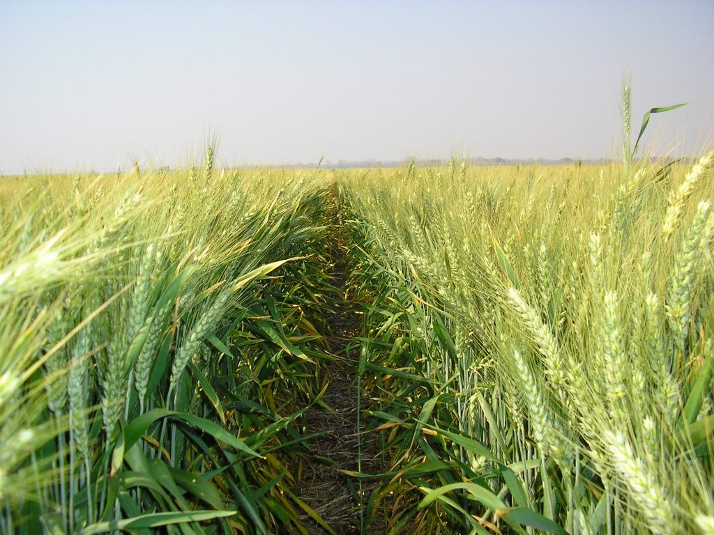 Photo of irrigated wheat field in Zambia used as a prompt for a micro fiction story