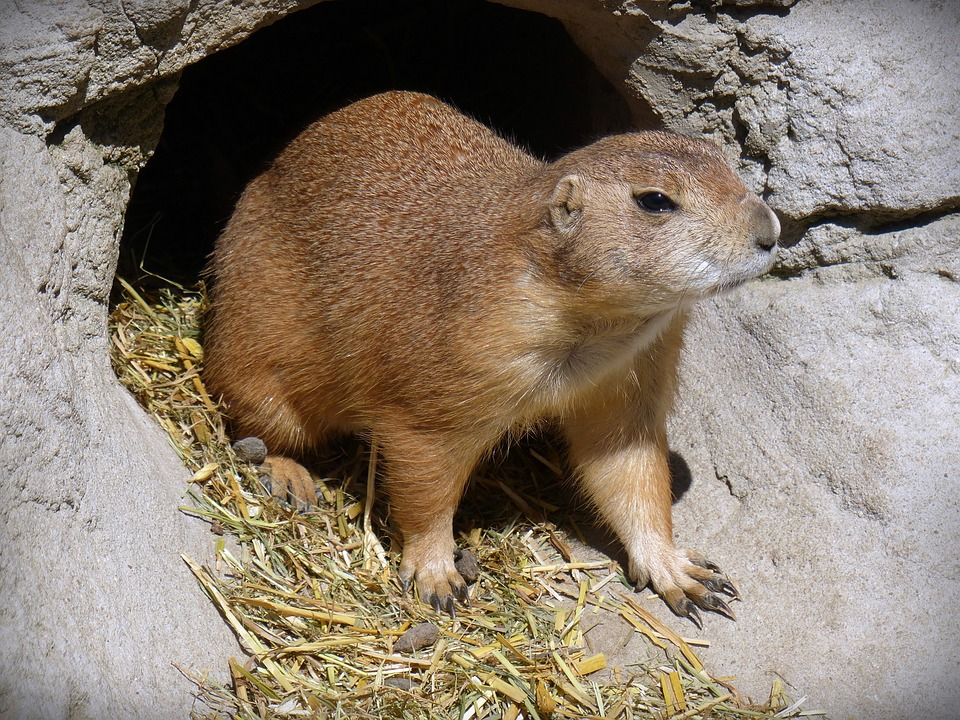 Prairie dog (ground hog) used to illustrate a post on repeating a component of a third draft novel writing course.