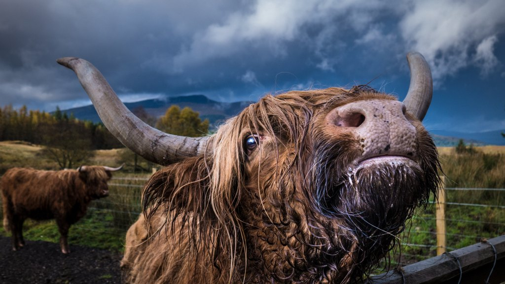 Close up photo of a highland cow with cloudy sky background by Jacco Rienks used for sonya's three line tales microfiction prompt.